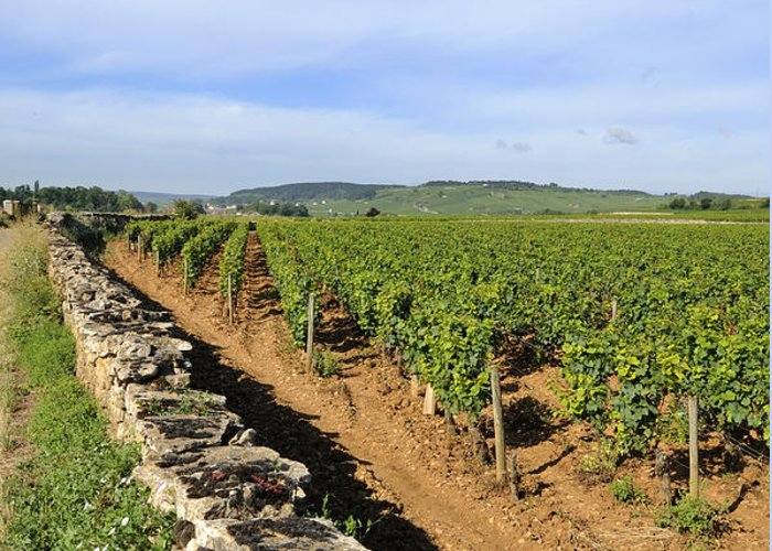 Agricultural  Greeting Card featuring the photograph Stone Wall. Vineyard. Cote De Beaune. Burgundy. France. Europe by Bernard Jaubert