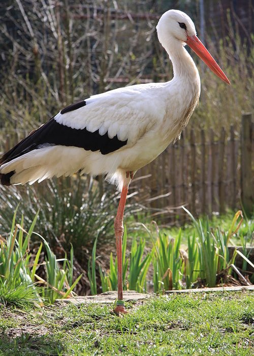 Stork Greeting Card featuring the photograph Stork by Christiane Schulze Art And Photography