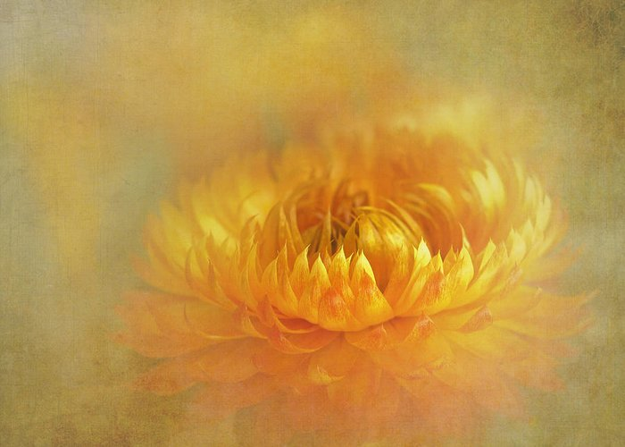 Bloom Greeting Card featuring the photograph Strawflower IIi With Textures by David and Carol Kelly