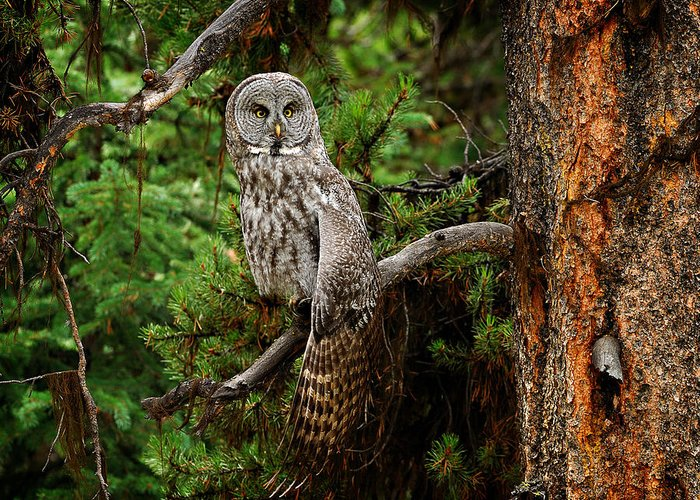 Owl Greeting Card featuring the photograph Stretch by Christopher Balmer