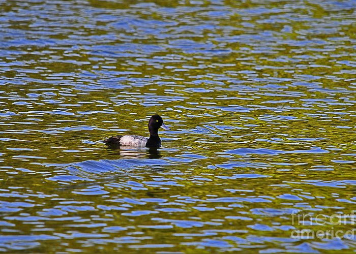 Duck Greeting Card featuring the photograph Striking Scaup by Al Powell Photography USA