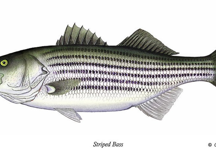 Striped Bass Art Greeting Card featuring the painting Striped Bass by Charles Harden