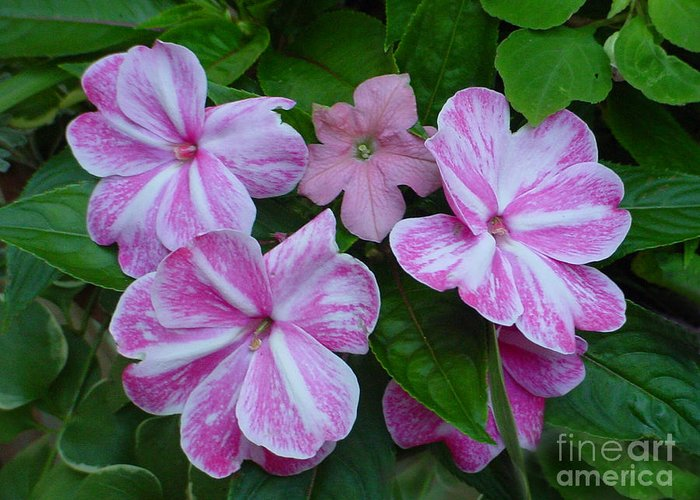 Flower Greeting Card featuring the photograph Striped Flower by Nancie Johnson