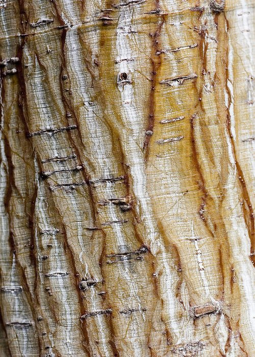 Arboretum Greeting Card featuring the photograph Striped Maple by Steven Ralser
