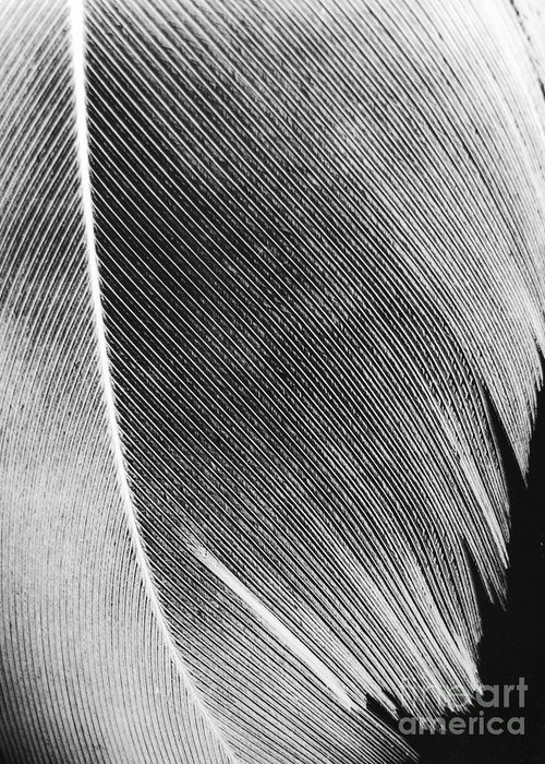 Microphotography Greeting Card featuring the photograph Structure Of Quill by Sarka Olehlova