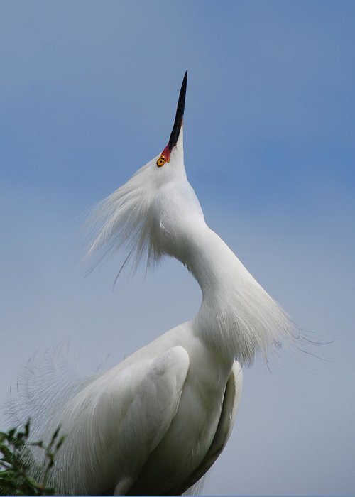 Egret Greeting Card featuring the photograph Strut Yer Stuff by Skip Willits