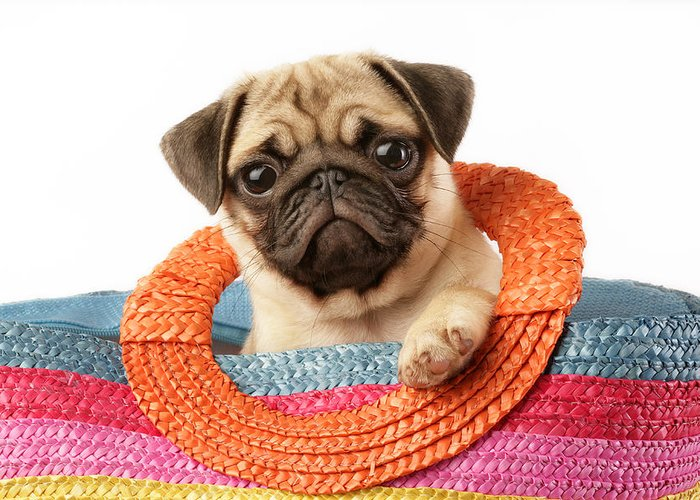 Puppy Horizontal Pug Puppies Sitting Pugs Greeting Card featuring the photograph Stuck Pug by Greg Cuddiford