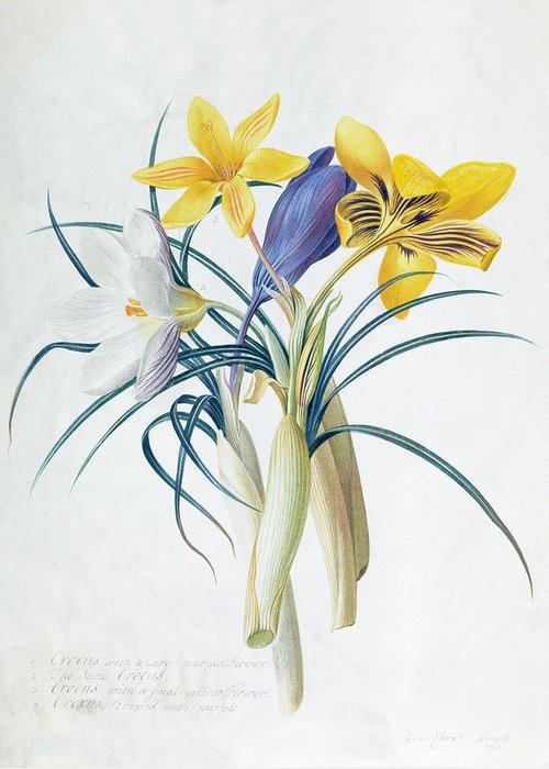 Floral Greeting Card featuring the painting Study Of Four Species Of Crocus by Georg Dionysius Ehret
