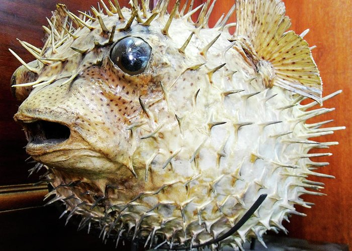 Porcupine Fish Greeting Cards