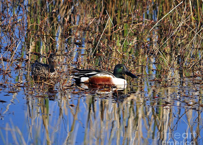Shoveler Greeting Card featuring the photograph Stunning Shovelers by Al Powell Photography USA