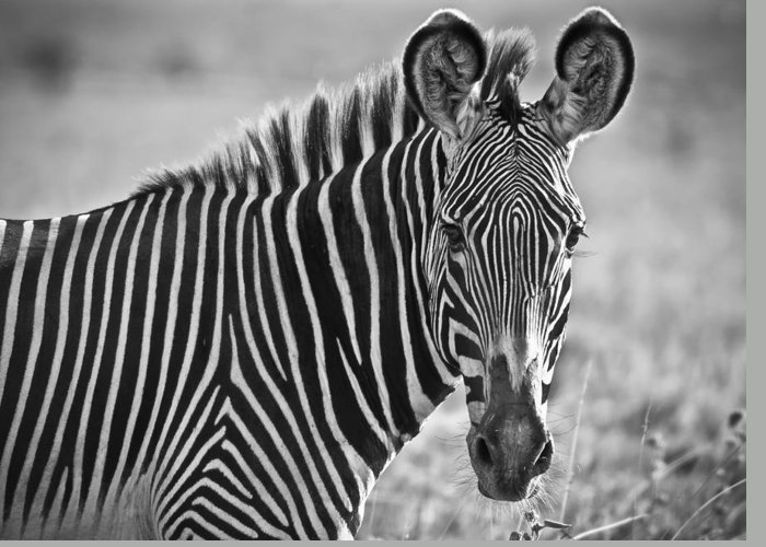 Zebra Greeting Card featuring the photograph Stylin' Grevy's Zebra by Sandy Schepis