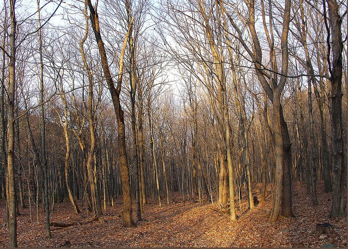Forest Greeting Card featuring the photograph Sublime Light Of Morning by Terrance DePietro