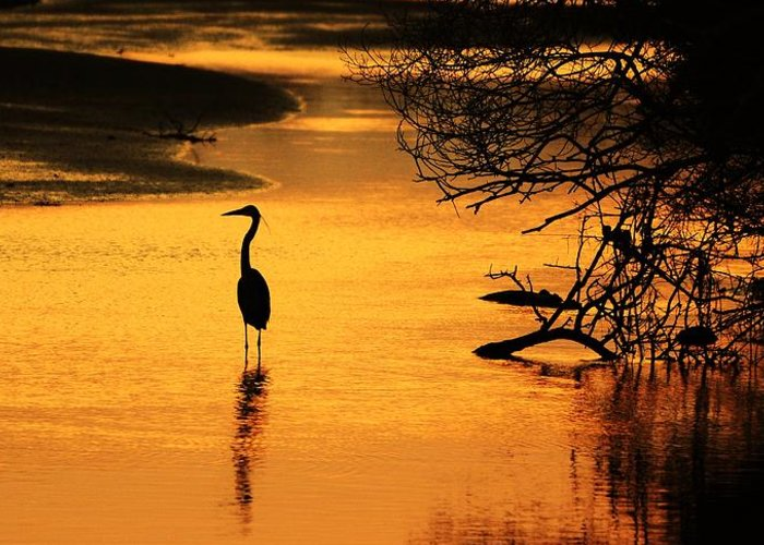Heron At Sunset Greeting Card featuring the photograph Sublime Silhouette by Al Powell Photography USA