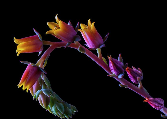 California Greeting Card featuring the photograph Succulent Flowers On A Stalk by Bill Gracey