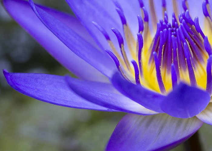 Blue Waterlily Greeting Card featuring the photograph Summer Abundance by Priya Ghose