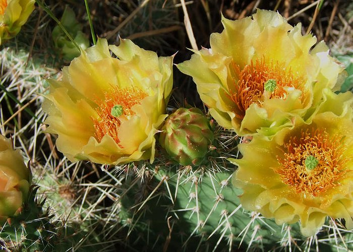 Cactus Greeting Card featuring the photograph Summer Cactus Blooms by Kae Cheatham