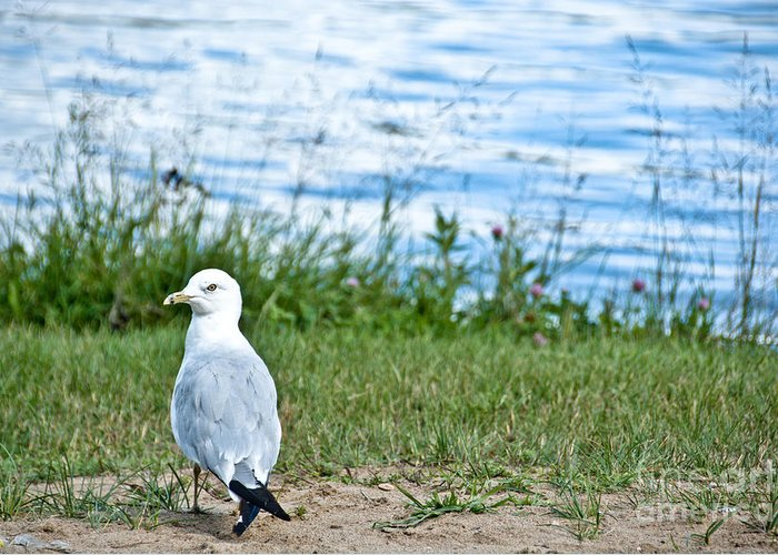 Seagull Greeting Card featuring the photograph Summer Sea Gull by Cheryl Baxter