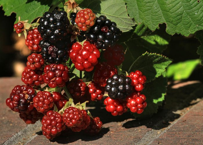 Blackberries Greeting Card featuring the photograph Summer's Bounty by Donna Kennedy