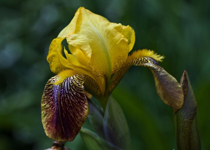 Iris Greeting Card featuring the photograph Summery by Doug Norkum