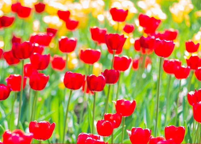 Flower Greeting Card featuring the photograph Sun Drenched Tulips - Featured 3 by Alexander Senin
