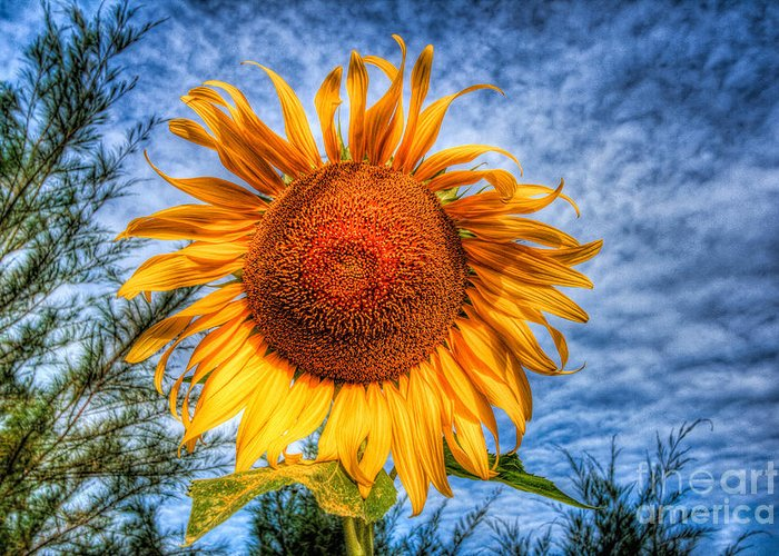 Hdr Greeting Card featuring the photograph Sun Flower by Adrian Evans