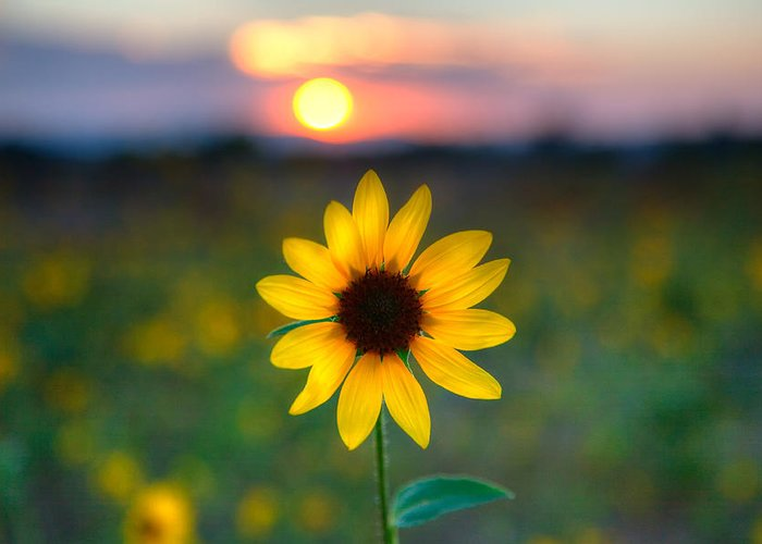 Wild Sunflower Greeting Cards