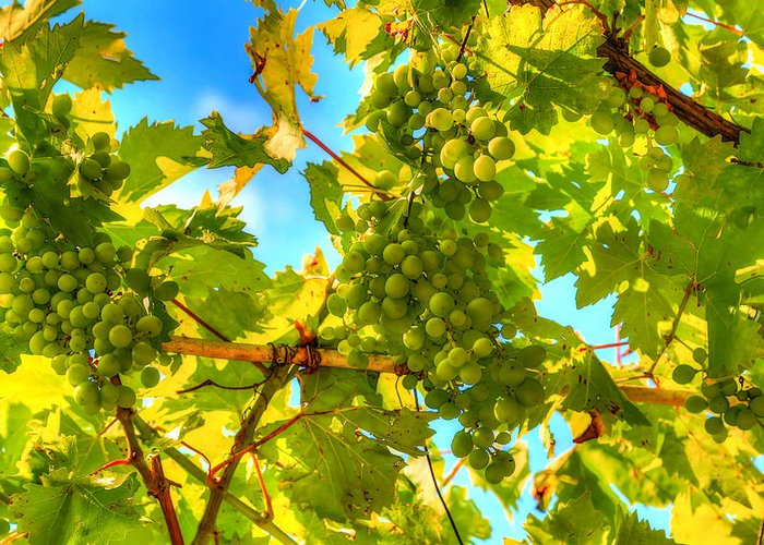 Growth Greeting Card featuring the photograph Sun Kissed Green Grapes by Eti Reid