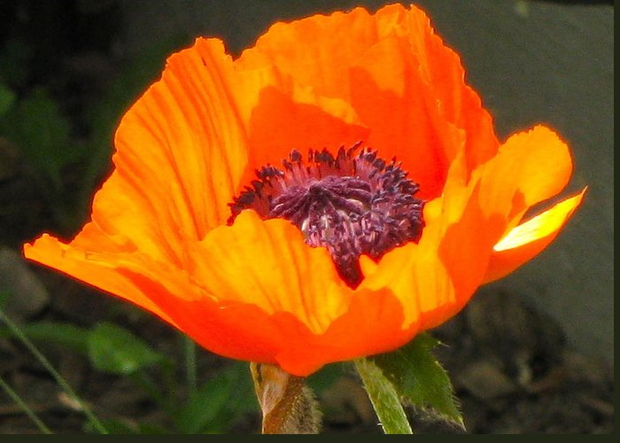 Orange Greeting Card featuring the photograph Sun-kissed Poppy by Lisa Amport