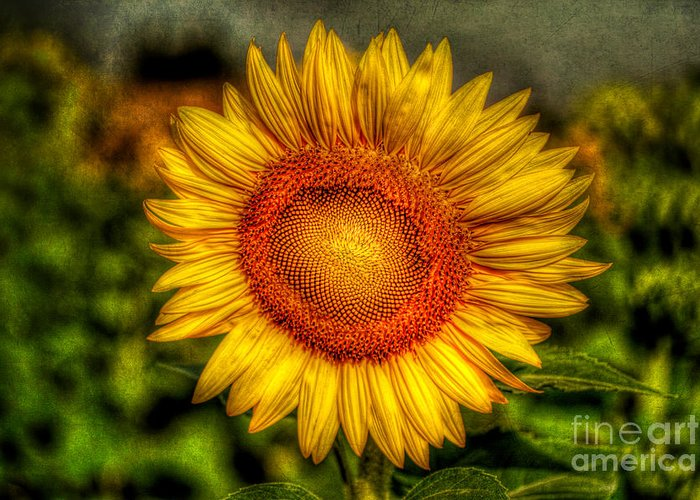 Hdr Greeting Card featuring the photograph Sunflower by Adrian Evans