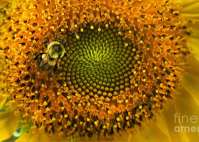 Sunflower Greeting Card featuring the photograph Sunflower An Bumble by Brittany Perez