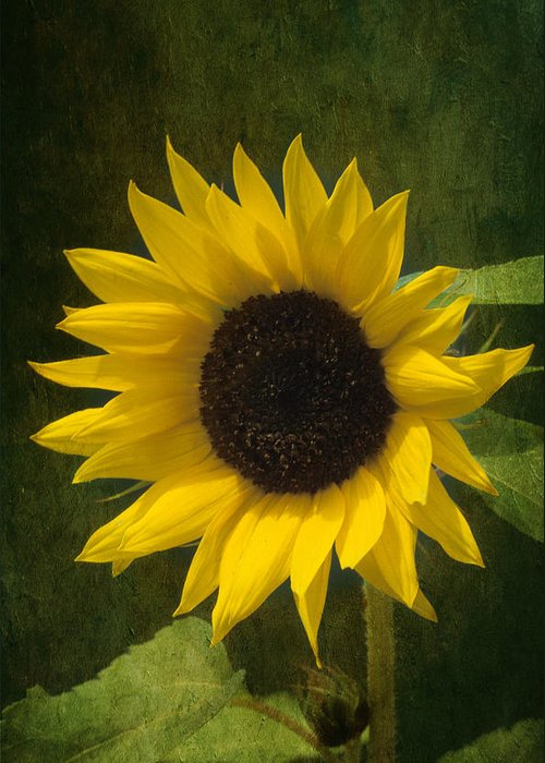 Sunflower Greeting Card featuring the photograph Sunflower Beauty by Keith Gondron