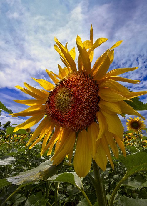 Appalachia Greeting Card featuring the photograph Sunflower Blue by Debra and Dave Vanderlaan