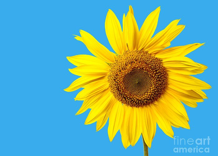 Yellow Sunflower Photographs Greeting Cards
