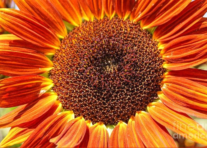 Agriculture Greeting Card featuring the photograph Sunflower Burst by Kerri Mortenson