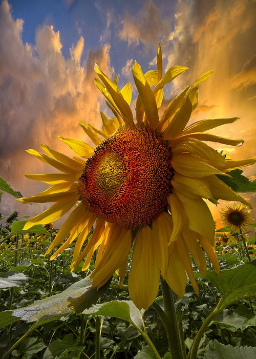 Appalachia Greeting Card featuring the photograph Sunflower Dawn by Debra and Dave Vanderlaan