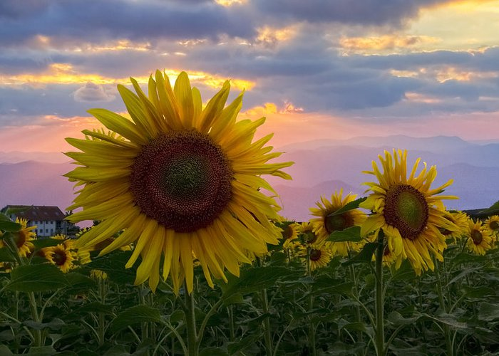 Appalachia Greeting Card featuring the photograph Sunflower Field by Debra and Dave Vanderlaan
