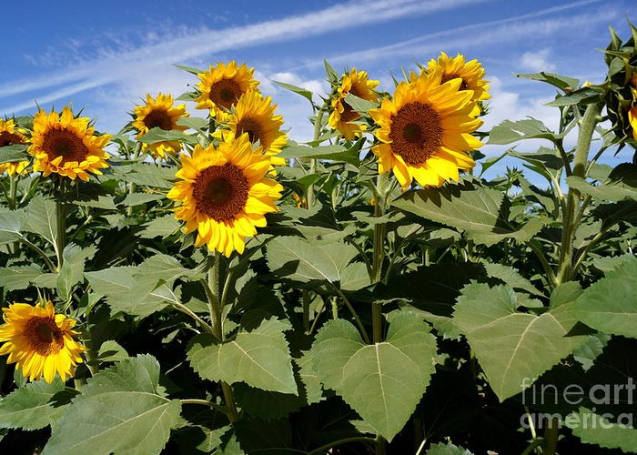 Agriculture Greeting Card featuring the photograph Sunflower Field by Kerri Mortenson