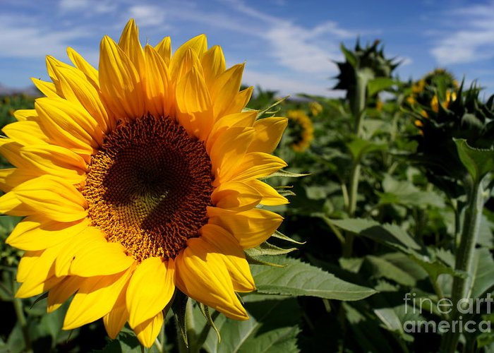 Agriculture Greeting Card featuring the photograph Sunflower Glow by Kerri Mortenson