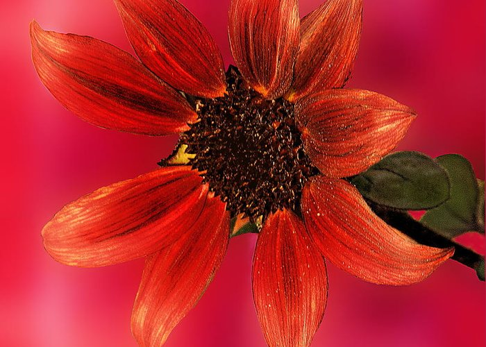 Nature Greeting Card featuring the photograph Sunflower In Red by Viktor Savchenko