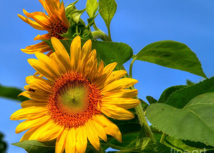 Foliage Greeting Card featuring the photograph Sunflower Pair by Sue Karski
