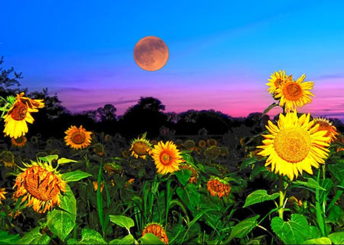 Sunflower Patch Greeting Card featuring the photograph Sunflower Patch And Moon by Randall Branham