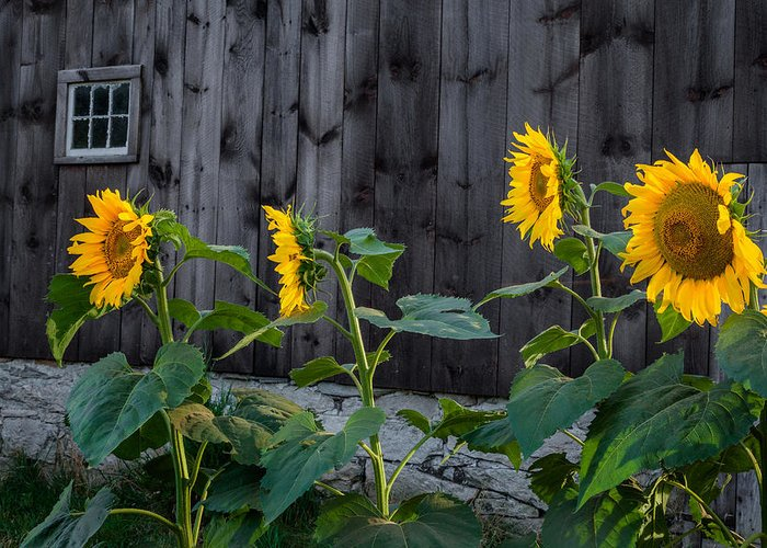Sunflower Greeting Card featuring the photograph Sunflower Quartet by Bill Wakeley