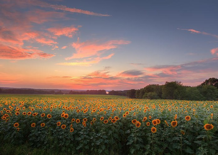 Sunflower Greeting Card featuring the photograph Sunflower Sunset by Bill Wakeley