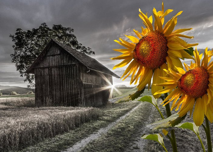 Appalachia Greeting Card featuring the photograph Sunflower Watch by Debra and Dave Vanderlaan