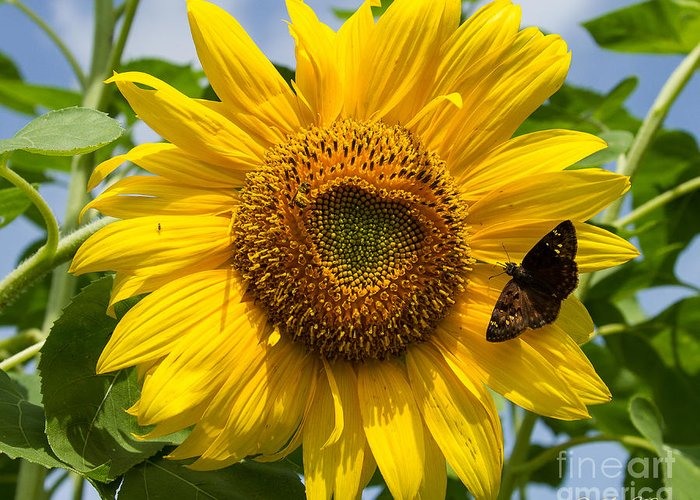 Foliage Greeting Card featuring the photograph Sunflower With Butterfly by Sue Karski