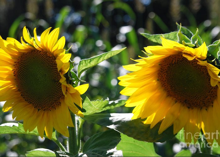 Harvest Greeting Card featuring the photograph Sunflowers by Manda Renee