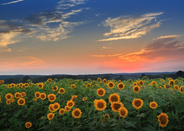 Sunflower Greeting Card featuring the photograph Sunflowers In The Evening by Bill Wakeley