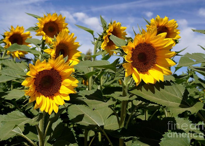 Agriculture Greeting Card featuring the photograph Sunflowers by Kerri Mortenson