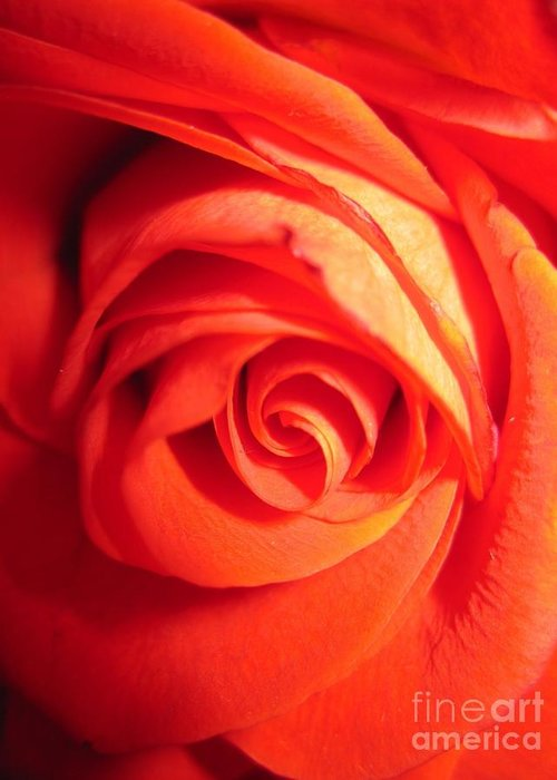 Floral Greeting Card featuring the photograph Sunkissed Orange Rose 11 by Tara Shalton