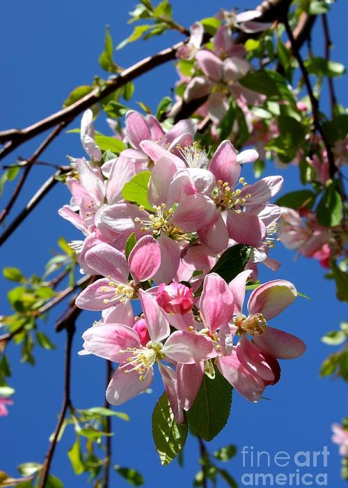 Blossoms Greeting Card featuring the photograph Sunlight On Spring Blossoms by Carol Groenen